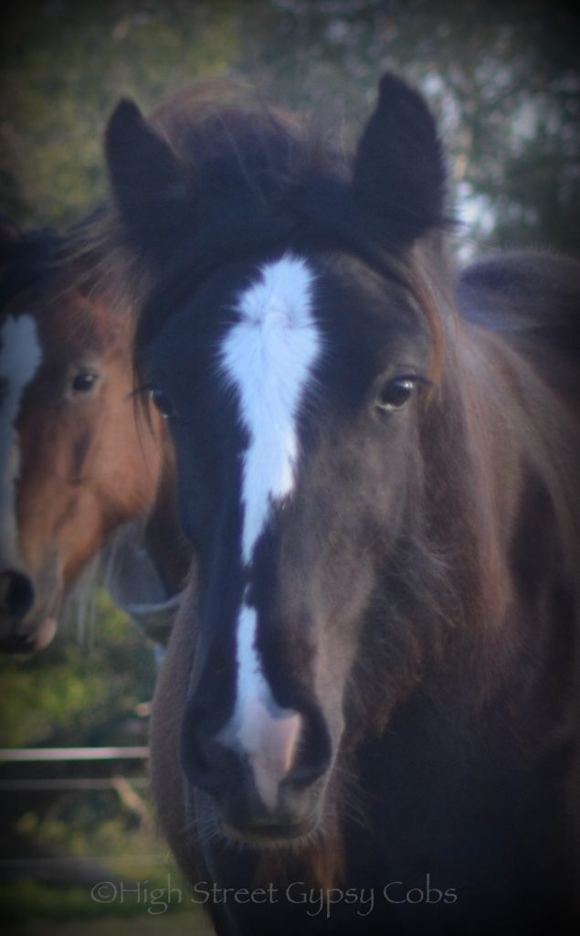 High Street's Horseshoe's The Black Madonna For Sale, gypsy cob for sale australia, high street gypsy cobs, heavy horses australia, gypsy vanner, Irish Tinker, Romany Cob, black gypsy cob, gypsy cob filly, gypsy cob stud australia, The Horseshoe Stallion, Horses for sale australia