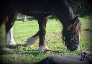 Gypsy Cob for sale australia, Gypsy Cob filly at High Street Gypsy Cobs, Gypsy Horse For Sale, Gypsy Cob Stud Australia