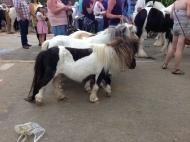 Appleby Horse Fair 2013, High Street Gypsy Cobs, Australia.