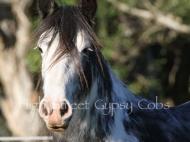Blue Sabino Gypsy Cob mare, Autumn Skye of High Street Gypsy Cobs Australia, Gypsy Horse, Gypsy Vanner, For Sale.
