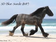 Gypsy Cob, Gypsy horse, for sale, Gypsy Vanner, Gypsy Horse, Blue Roan Stallion at Stud Australia, at High Street Gypsy Cobs Australia. SD Blue Suede Imp UK.
