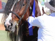Gypsy Cob for sale, Gypsy cob, Gypsy Horse for sale, Gypsy Vanner for sale at High Street Gypsy Cobs. Gypsy Cob, Gypsy Horse Stallion. Gypsy Cob Stallion at stud Australia  at High Street Gypsy Cobs ITS Boester takes 1st place is Gypsy Cob Stallion @ gatton Clydesdale & heavy Horse Field Day.