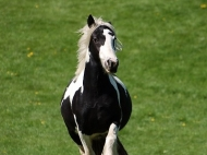 Gypsy Cob for sale,Gypsy cob, Gypsy Horse for sale, Gypsy Vanner for sale at High Street Gypsy Cobs. Gypsy Horse.  Gypsy Cob at High Street Gypsy Cobs Australia.  Calamity Jane\'s Dam - Sykes Filly
