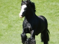 Gypsy Cob for sale,Gypsy cob, Gypsy Horse for sale, Gypsy Vanner for sale at High Street Gypsy Cobs. Gypsy Horse.  Gypsy Cob at High Street Gypsy Cobs Australia.  Calamity Jane's Sire - Davey Ward's Black Stallion