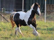 Gypsy Cob for sale,Gypsy cob, Gypsy Horse for sale, Gypsy Vanner for sale at High Street Gypsy Cobs. Gypsy Horse.  Gypsy Cob at High Street Gypsy Cobs Australia.  High Streets Calamity Jane  (IMP)