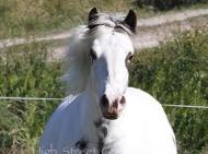 Gypsy Cob mare, Red sabino Gypsy Horse, Gypsy vanner, Irish cob at High Street Gypsy Cobs, For Sale.