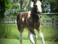 Gypsy cob for sale Australia, tobiabo,  pinto, Foal, colt, Gypsy Horse, Gypsy vanner,  at High Street Gypsy Cobs Australia