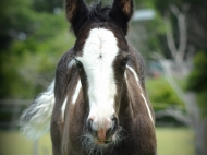 Gypsy Cob for sale Australia, High Street\'s The Soul Man, Pinto foal, Gypsy Horse, Gypsy Vanner colt at High Street Gypsy Cobs