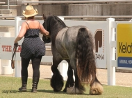 Blue roan Gypsy Cob Stallion, Blue Roan Gypsy Horse Stallion at stud , Blue roan Gypsy Vanner at High Street Gypsy Cobs Australia.