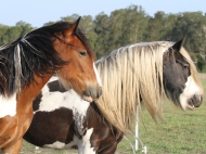 Drum Horse, Gypsy Cob, Gypsy Horse for sale, Drum filly, Tri colour Drum Mare High Street\'s Eva of High Street Gypsy Cobs