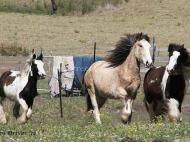 Gypsy Cob for sale,Gypsy cob, Gypsy Horse for sale, Gypsy Vanner for sale at High Street Gypsy Cobs. Gypsy Horse, Gypsy Cob at High Street Gypsy Cobs Australia.  ITS Fair Lady Imp NL runs with her pals