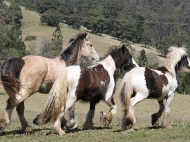 Gypsy Cob for sale,Gypsy cob, Gypsy Cob for sale,Gypsy cob, Gypsy Horse for sale, Gypsy Vanner for sale at High Street Gypsy Cobs. Gypsy Horse for sale, Gypsy Vanner for sale at High Street Gypsy Cobs. Gypsy Horse, Gypsy Cob at High Street Gypsy Cobs Australia.  ITS Fair Lady Imp NL runs with her pals
