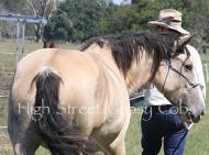 Gypsy Cob for sale,Gypsy cob, Gypsy Horse for sale, Gypsy Vanner for sale at High Street Gypsy Cobs. Gypsy Horse, Gypsy Cob at High Street Gypsy Cobs Australia. ITS Fair Lady Imp NL