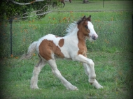 gypsy cob for sale australia, gypsy horse for sale, the lion king horse, bay horse, for sale at High Street Gypsy Cobs Australia, Gypsy Vanner