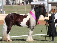Gypsy Horse. Gypsy Cob for sale. High Street Gypsy Cobs. The Lioness.. ITS Boester Imp Netherlands