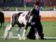 Gypsy Horse. Gypsy Cob for sale. High Street Gypsy Cobs. The Lioness.. GP The Teddy Boy Imp Uk