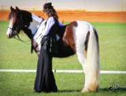 Gypsy Horse. Gypsy Cob for sale. High Street Gypsy Cobs. The Lioness..GP The Teddy Boy Imp Uk