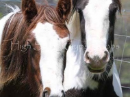 Gypsy Cob, Gypsy Horse, Irish Tinker Horse at High Street Gypsy Cobs . GP Mary Ellen