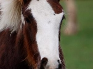 Gypsy Cob, Gypsy Horse, Irish Tinker Horse at High Street Gypsy Cobs . GP Mary Ellen Ellen