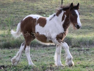 High Street\'s Eva - Drum Filly at High Street Gypsy Cobs Australia
