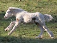High Street\'s Ondine. Gypsy Cob filly, Gypsy Horse Filly, Gypsy Vanner Filly, Irish Tinker Horse filly