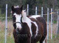 Gypsy Cob, Gypsy Horse, Gypsy Vanner for sale, pinto, foal at High Street Gypsy Cobs, Australia.