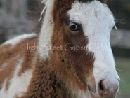 Gypsy Horse. Gypsy Cob for sale. High Street Gypsy Cobs..High Street\'s Storm Boy - Sept 2012