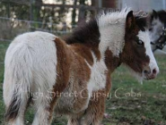 Gypsy Horse. Gypsy Cob for sale. High Street Gypsy Cobs. High Street\'s Storm Boy - Sept 2012