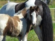 Gypsy Cob Colt, Gypsy Horse colt, High Street\'s The Peaceful Warrior of High Street Gypsy Cobs, Aus
