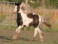 Gypsy Cob Colt, Gypsy Horse colt, Gypsy Vanner pinto colt, High Street\'s The Peaceful Warrior of High Street Gypsy Cobs, Aus
