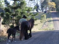 Gypsy Horse, Gypsy Cob at High Street Gypsy Cobs Australia.  The Madonna Filly