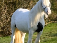 Gypsy Horse Gypsy cob mare at High Street Gypsy Cobs. Clononeen Aglish for sale