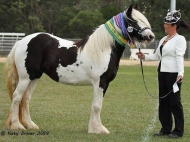 Gypsy Cob For sale, Gypsy Vanner for sale, Gypsy Stallion for sale, pinto at High Street Gypsy Cobs
