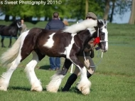Gunslinger is Primroses 2010 Gypsy Horse colt . Here he gains his first premium.