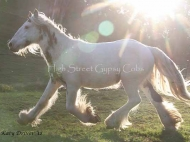 Gypsy Cob for sale, Gypsy cob, Gypsy Horse for sale, Gypsy Vanner for sale at High Street Gypsy Cobs. Gypsy Cob. High Streets High Streets Royal Occasion Gypsy Cob Gypsy Horse for sale at High Street Gypsy Cobs Occasion