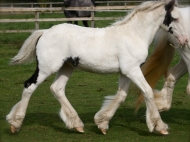 Gypsy Cob for sale,Gypsy cob, Gypsy Horse for sale, Gypsy Vanner for sale at High Street Gypsy Cobs. Gypsy Cob. High Streets Royal Occasion Gypsy Cob Gypsy Horse for sale at High Street Gypsy Cobs