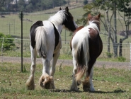 Gypsy Cob. Gypsy Horse. Gypsy Horse Filly GP Senhorita IMP UK. Gypsy Cob, Gypsy Vanner at High Street Gypsy Cobs Australia.