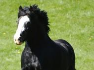 Gypsy Horse. Gypsy Cob Stallion . High Street Gypsy Cobs. The Davey Wards Black Stallion