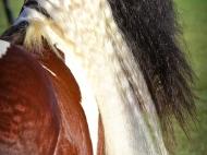 Gypsy Cob. Gypsy Horse. Gypsy Horse Stallion ITS Boester. Gypsy Cob. Gypsy Vanner. High Street Gypsy Cobs