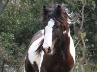 Gypsy Cob. gypsy Horse. Gypsy Horse Stallion GP The Teddy Boy. Gypsy Cob. Gypsy Vanner. High Street Gypsy Cobs, Australia.