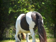 Gypsy Cob, Gypsy Horse, Gypsy Vanner pinto mare, for sale at High Street Gypsy Cobs. Gypsy Cob  mare at High Street Gypsy Cobs. Gypsy Horse. Sweetcheeks of High Street Gypsy Cobs Imp UK at High Street Gypsy Cobs. Gypsy horse, Gypsy Vanner, Irish Tinker.