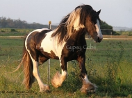 Pinto Gypsy Cob STallion, Black and white Gypsy Horse stallion at Stud, The Teddy Boy at High STreet Gypsy Cobs Australia, Gypsy Horse for sale