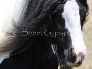Gypsy Horse. Gypsy Cob for sale. High Street Gypsy Cobs. The Lioness. DNA verified grand daughter to The Lion King.