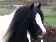 Gypsy Horse. Gypsy Cob for sale. High Street Gypsy Cobs. The Lioness.