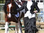 ITS Boester Imp Netherlands. Gypsy Cob, Gypsy Horse at High Street Gypsy Cobs