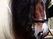 ITS Boester Imp Netherlands Gypsy Cob, Gypsy Horse at High Street Gypsy Cobs