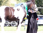 GP The Teddy Boy Imp UK Gypsy Cob, Gypsy Horse at High Street Gypsy Cobs