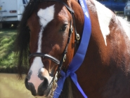 ITS Boester Imp Netherlands Gypsy Cob, Gypsy Horse at High Street Gypsy Cobs