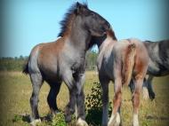 gypsy cob for sale australia, Gypsy horse, Gypsy vanner, Tinker Horse, irish Tiinker, Irish Cob, Heavy Horse, Vanner Horse, Blue Roan, Tobiano, Pinto at High Street Gypsy Cobs, Australia.