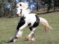 Pure bred Gypsy Cob Stallion for sale Australia. Gypsy Horse, Gypsy Vanner, Irish Tinker horse.